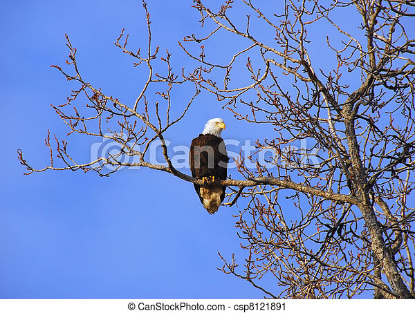 Alaskan Bald Eagle in tree at sunset - csp8121891