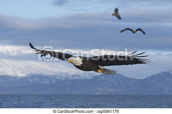 Alaskan Bald Eagle - csp5561176