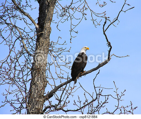 Alaskan Bald Eagle - csp8121884