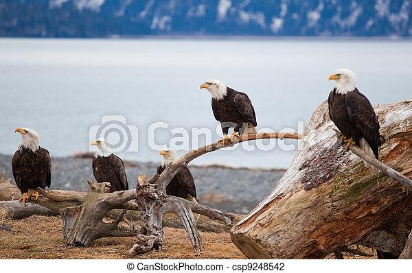 American Bald Eagles - csp9248542