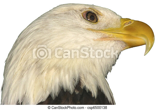 Bald eagle national bird of the USA on a white background. - csp6500138