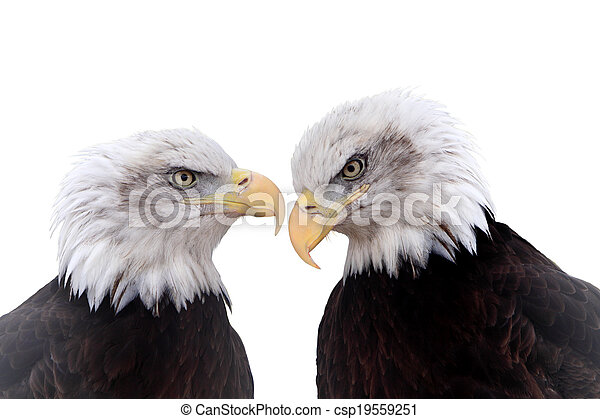 Bald Eagle - csp19559251
