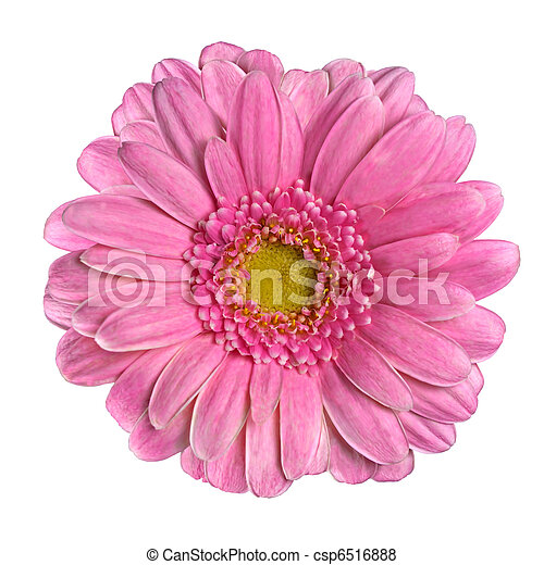 Beautiful Pink Gerbera Flower Isolated on White - csp6516888