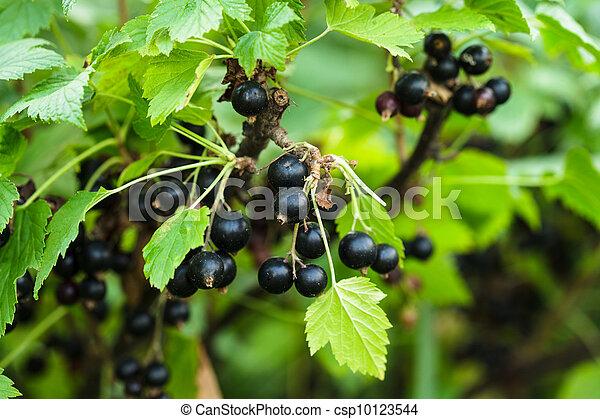 Blackcurrant bush - csp10123544