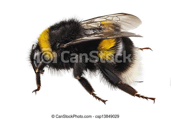 Bumblebee species Bombus terrestris - csp13849029