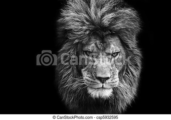 Eye catching portrait of male lion on black background in monochrome - csp5932595