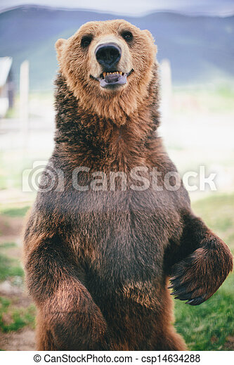grizzly bear standing - csp14634288