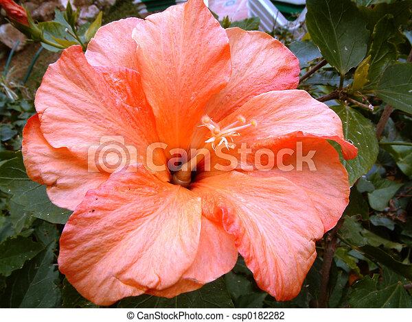 hibiscus flower - csp0182282