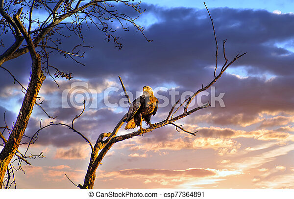 Majestic Bald Eagle perched on a tree branch in the sun against a beautiful sunset sky - csp77364891