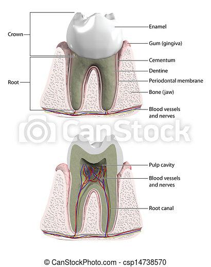 Molar tooth - csp14738570