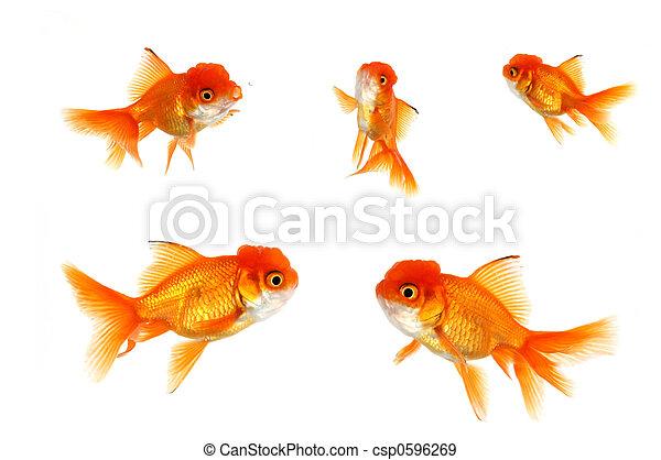 Multiple Orange Goldfish - csp0596269