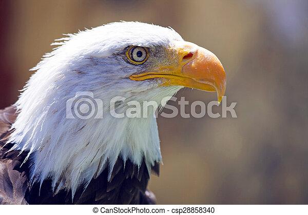 North American Bald Eagle - csp28858340