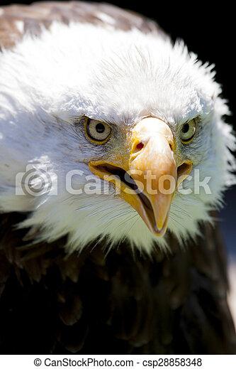 North American Bald Eagle - csp28858348