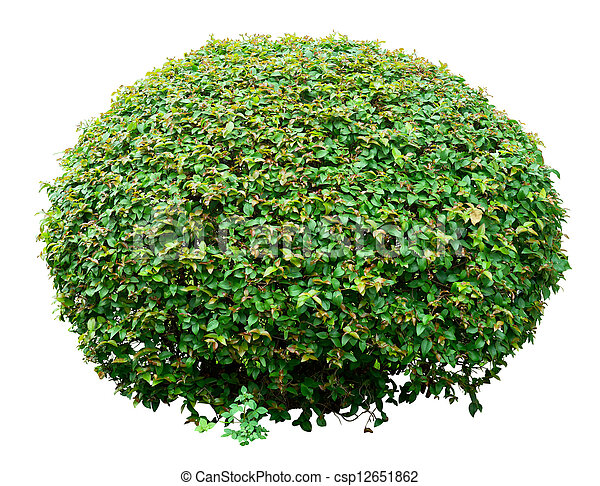 Ornamental bush - csp12651862