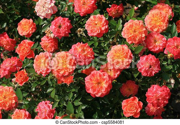 Rose bush - csp5584081