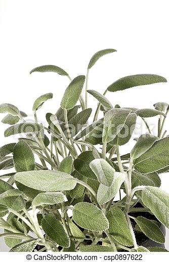 sage bush - csp0897622