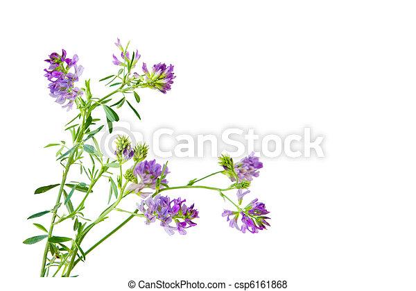 Slender Bush Clover - csp6161868