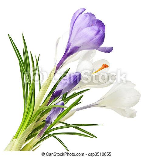 Spring crocus flowers - csp3510855