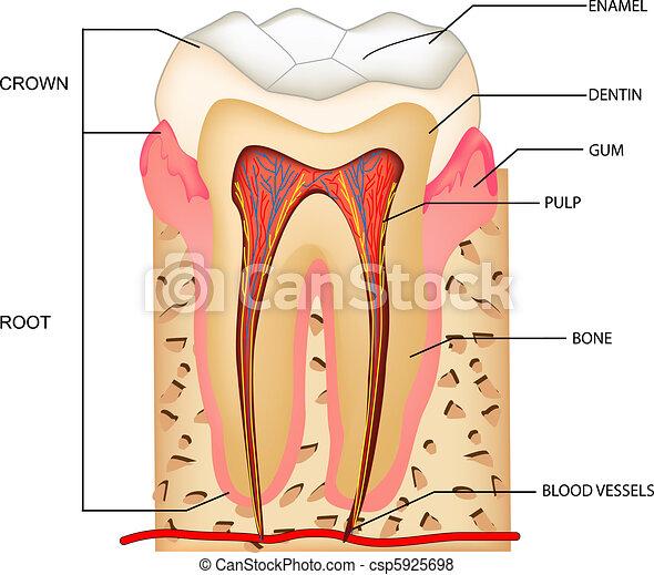 Teeth Anatomy - csp5925698