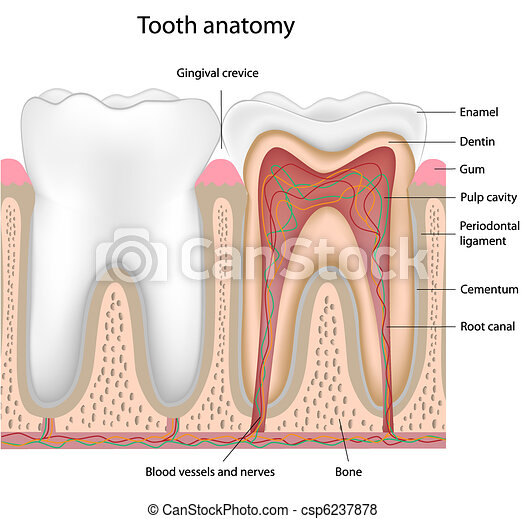 Tooth anatomy - csp6237878