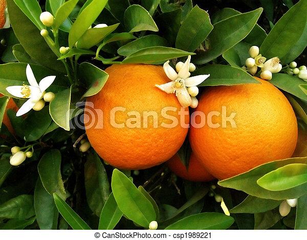 Two oranges on orange tree - csp1989221