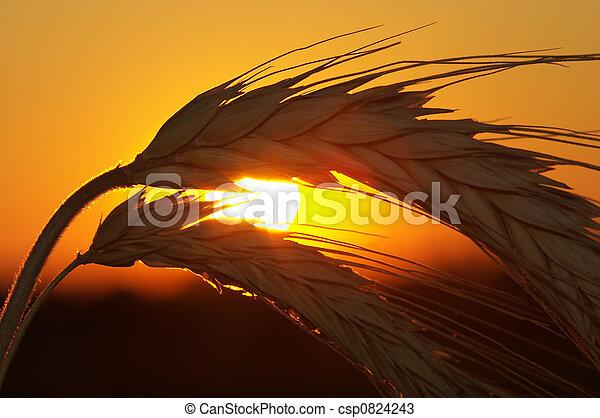 Wheat - csp0824243