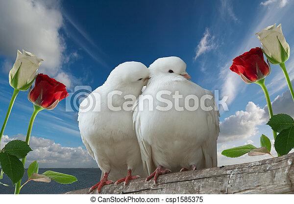 wihte doves in love - csp1585375