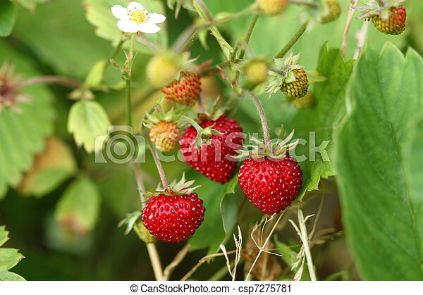 Wild strawberry bush - csp7275781