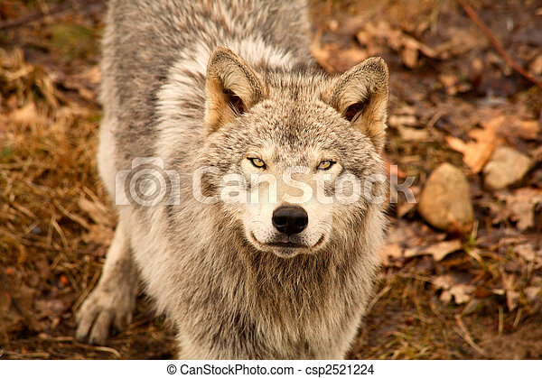 Wolf Looking Up - csp2521224