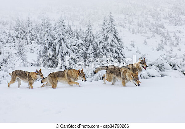 Wolves in the snow - csp34790266